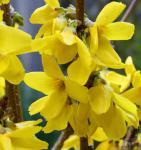 Hochstamm Forsythie Goldrausch 60-80cm - Forsythia Goldrausch