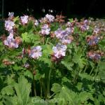 Balkanstorchschnabel Velebit - Geranium macrorrhizum
