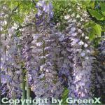 Blauregen 125-150cm - Wisteria floribunda