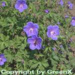 Himalayastorchschnabel Gravetye - Geranium himalayense