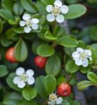 10x Kriechmispel Frieders Evergreen 10-15cm - Cotoneaster dammeri