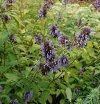 Hohe Katzenminze Manchu Blue - Nepeta manchuriensis