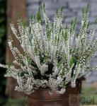 10x Besenheide Hammondii - Calluna vulgaris