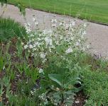 Muskatellersalbei Vatican White - Salvia sclarea