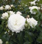 Floribundarose Alabaster® 30-60cm - Tantau Rose
