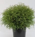 Lebensbaum Holm Ball 25-30cm - Thuja occidentalis