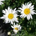 Gartenmargerite Polaris - Leucanthemum superbum