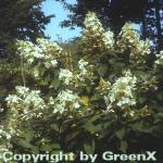 Hochstamm Rispen Hortensie Kyushu 80-100cm - Hydrangea paniculata