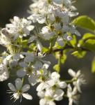 Steinweichsel 80-100cm - Prunus mahaleb