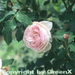 Englische Rose Heritage® 30-60cm