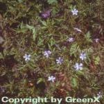 Stinkender Storchschnabel - Geranium robertianum