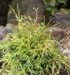 Hochstamm Faden Thuja Filiformi 100-125cm - Thuja occidentalis