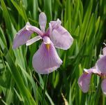 Asiatische Sumpf Schwertlilie Rose Queen - Iris laevigata