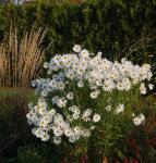 Oktober Margerite Herbststern - Leucanthemella serotina