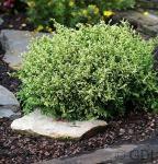 Zwerg Mooszypresse Nana 15-20cm - Chamaecyparis pisifera