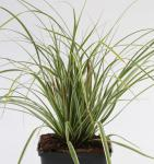 Brokat Segge Gold Fountains - Carex dolichostachya