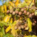 Kiwi 60-80cm - Actinidia arguta
