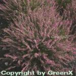 10x Besenheide Marlies - Calluna vulgaris