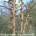 Sanddorn männlich 100-125cm - Hippophae rhamnoides