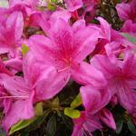Japanische Azalee Purple Splendor 15-20cm - Rhododendron obtusum - Zwerg Alpenrose
