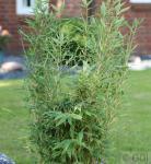 Gartenbambus Brillant® 80-100cm - Fargesia murielae
