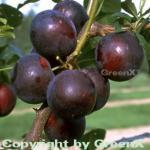 Pflaume Kirkespflaume 60-80cm - Prunus domestica