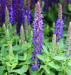 Salbei Sensation Deep Blue - Salvia nemorosa