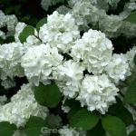 Japanischer Schneeball Summer Snowflake 60-80cm - Viburnum plicatum
