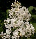 Edelflieder Schneeweißchen - Kircher-Collection 100-125cm - Syringa hyacinthiflora
