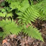 Wald Frauenfarn - Athyrium filix femina