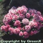 Rhododendron Nicoletta® 40-50cm - Alpenrose