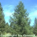 Europäische Lärche 100-125cm - Larix decidua