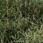 Gartenbambus Great Wall 80-100cm - Fargesia nitida