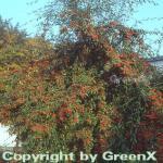 Wintergrüne Baummipel Cornubia 100-125cm - Cotoneaster watereri