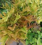 Rotschleierfarn - großer Topf - Dryopteris erythrosora