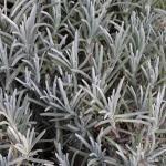 Echter Lavendel Silver Mist - Lavandula angustifolia