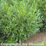 Aufrechte Lorbeerkirsche 80-100cm - Prunus laurocerasus