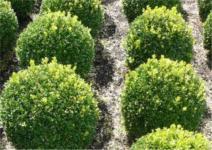 Buchsbaum Kugel 30-35cm - Buxus Kugel