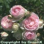 Hochstamm Rose Eden Rose® 80-100cm
