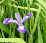 Schwertlilie Versicolor - Iris versicolor