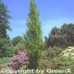 Säulen Hainbuche 100-125cm - Carpinus betulus Fastigiata