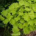 Japanischer Goldahorn 100-125cm - Acer shirasawanum Aureum