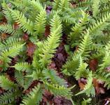 Tüpfelfran - Polypodium vulgare