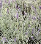 Echter Lavendel Richard Gray - Lavandula angustifolia