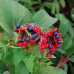 Gelbe Wild Pfingstrose - Paeonia wittmanniana