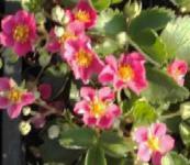 Rosa Walderdbeere - Fragaria vesca