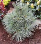 Kissenkiefer Krügers Lilliput 30-40cm - Pinus strobus Krügers Liliput
