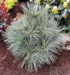 Kissenkiefer Krügers Lilliput 40-50cm - Pinus strobus Krügers Liliput