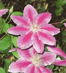Waldrebe Dr Ruppel 100-125cm - Clematis