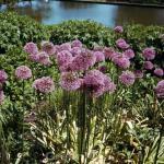 Garten Zierlauch - Allium aflatunense